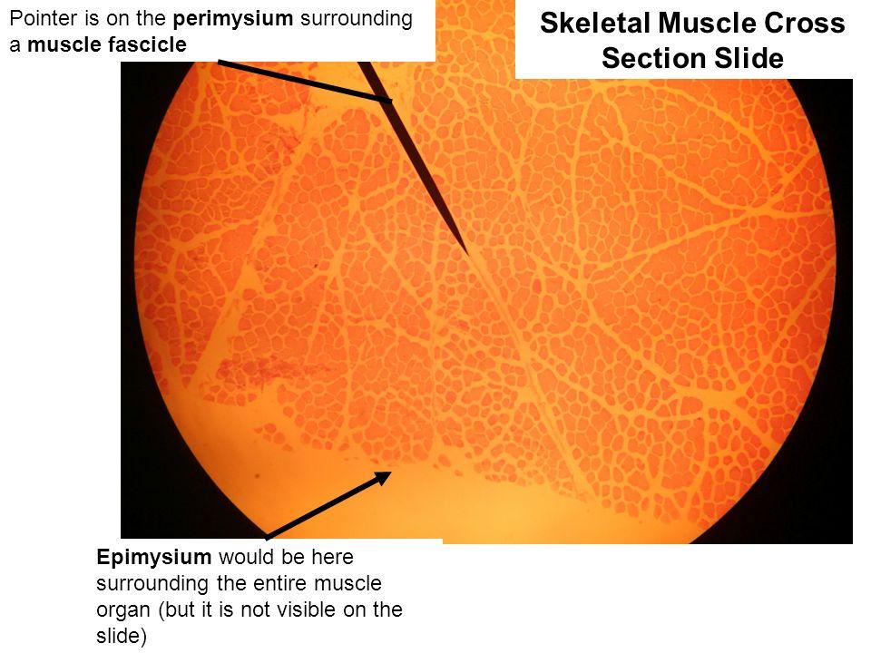 Skeletal Muscle Cross Section Slide