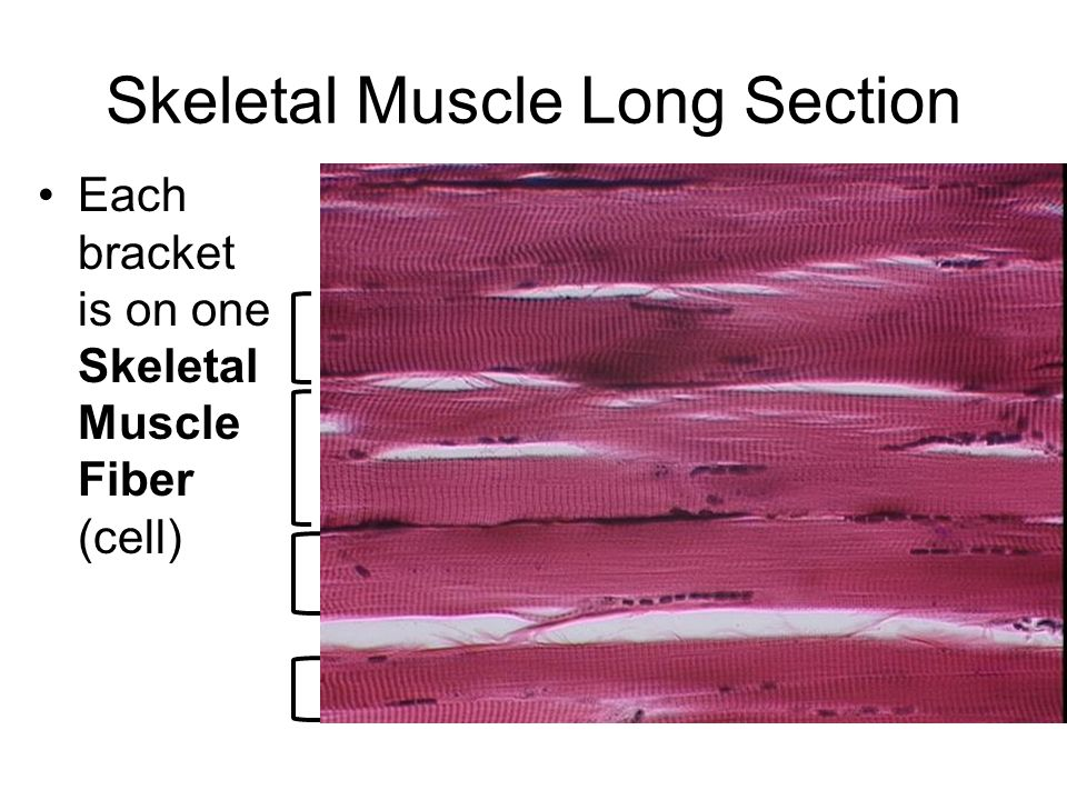 Skeletal Muscle Long Section