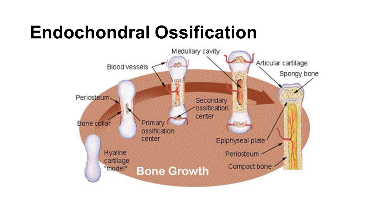 endochondral ossification Endochondral ossification:by bone is known as endochondral ossification most short bones have a single ossification centre near the middle of the bone long bones of the arms and legs typically have three, one at the centre of the bone and one at each end ossification of long bones proceeds until only.