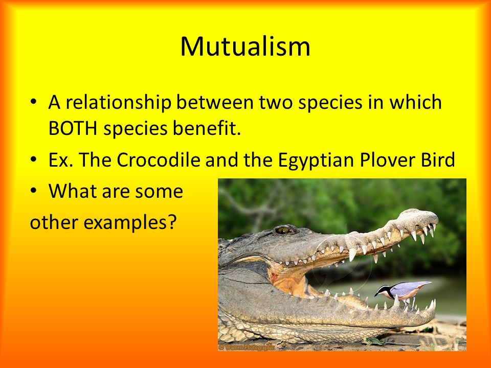 what is the relationship between nile crocodile and egyptian plover