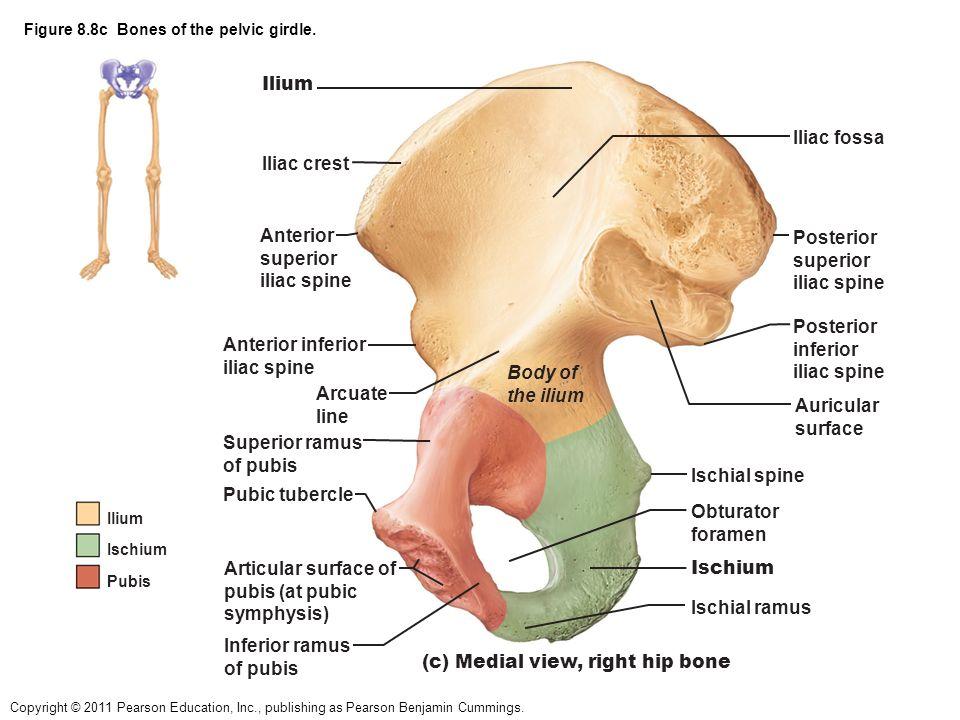 Famous Anatomy Of Iliac Bone Mold - Human Anatomy Images ...
