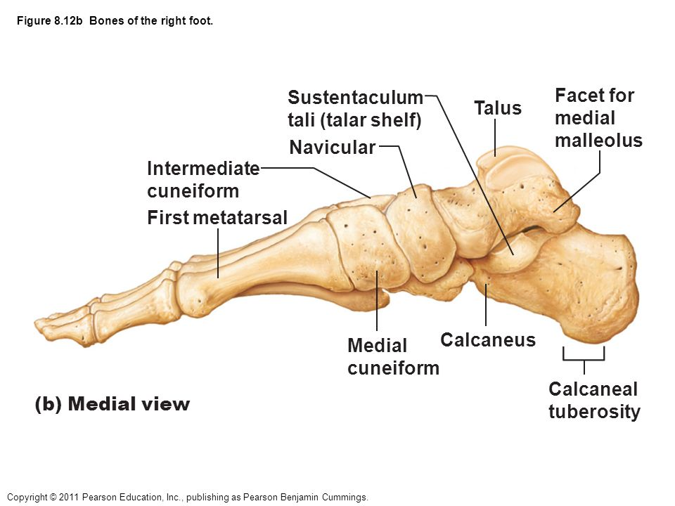 figure 8.1 the pectoral girdle and clavicle. - ppt video online, Human Body