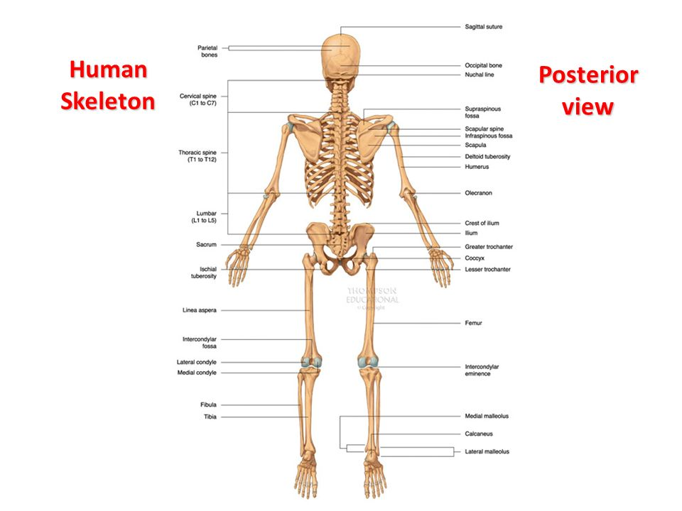 the skeletal system: labelling the bones - ppt video online download, Skeleton