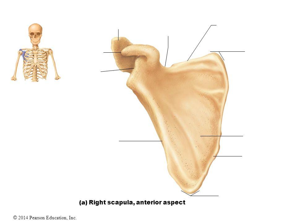 The Appendicular Skeleton - ppt video online download