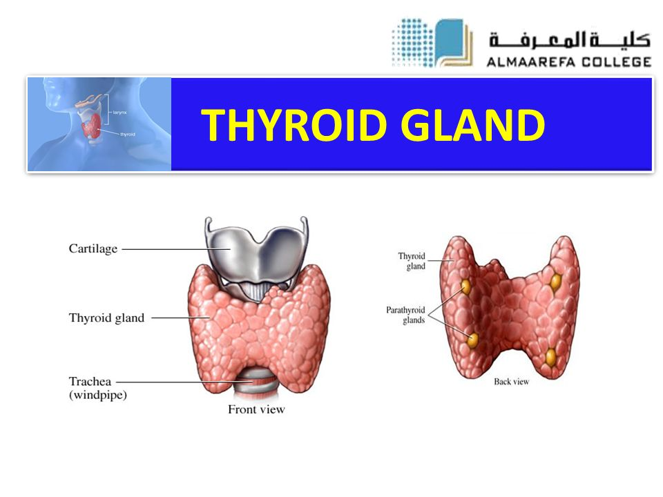 Thyroid Gland Ppt Video Online Download