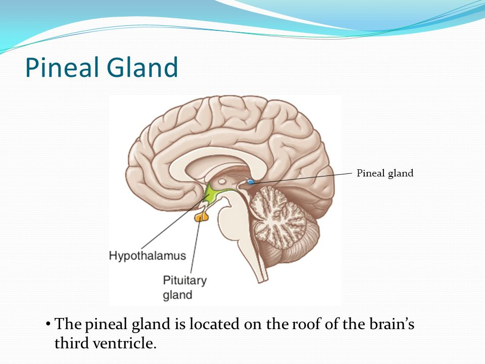 Old Fashioned Where Is The Pineal Gland Located Ensign - Anatomy And ...