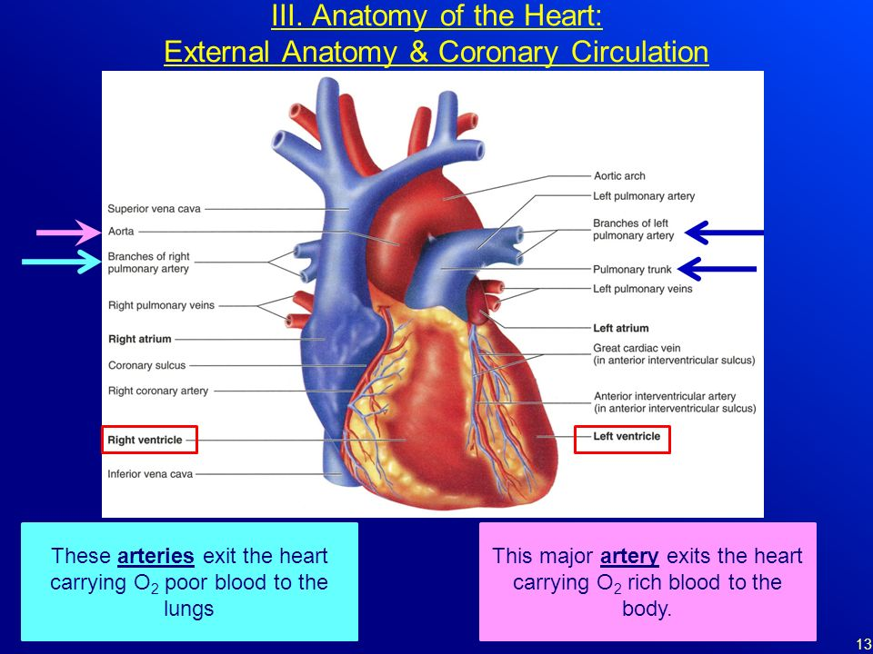 External Heart Anatomy Coronary Arteries keywords and pictures