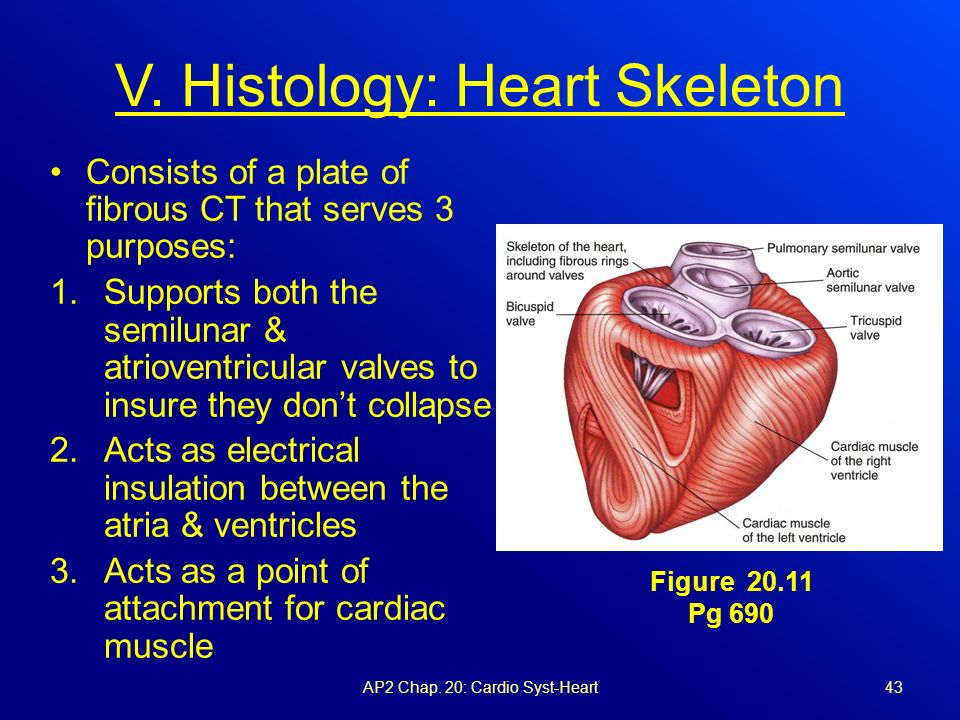 heart ant and vascular syst 1 Tained adaptive changes in the cardiovascular system to  figure 1 biological  and behavioural mechanisms and pathways in heart disease illustrated are well- established  ant patient-reported outcomes16 for example, a meta- analysis of .