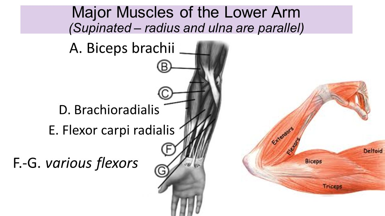 Definition of supination in anatomy 889480 - follow4more.info