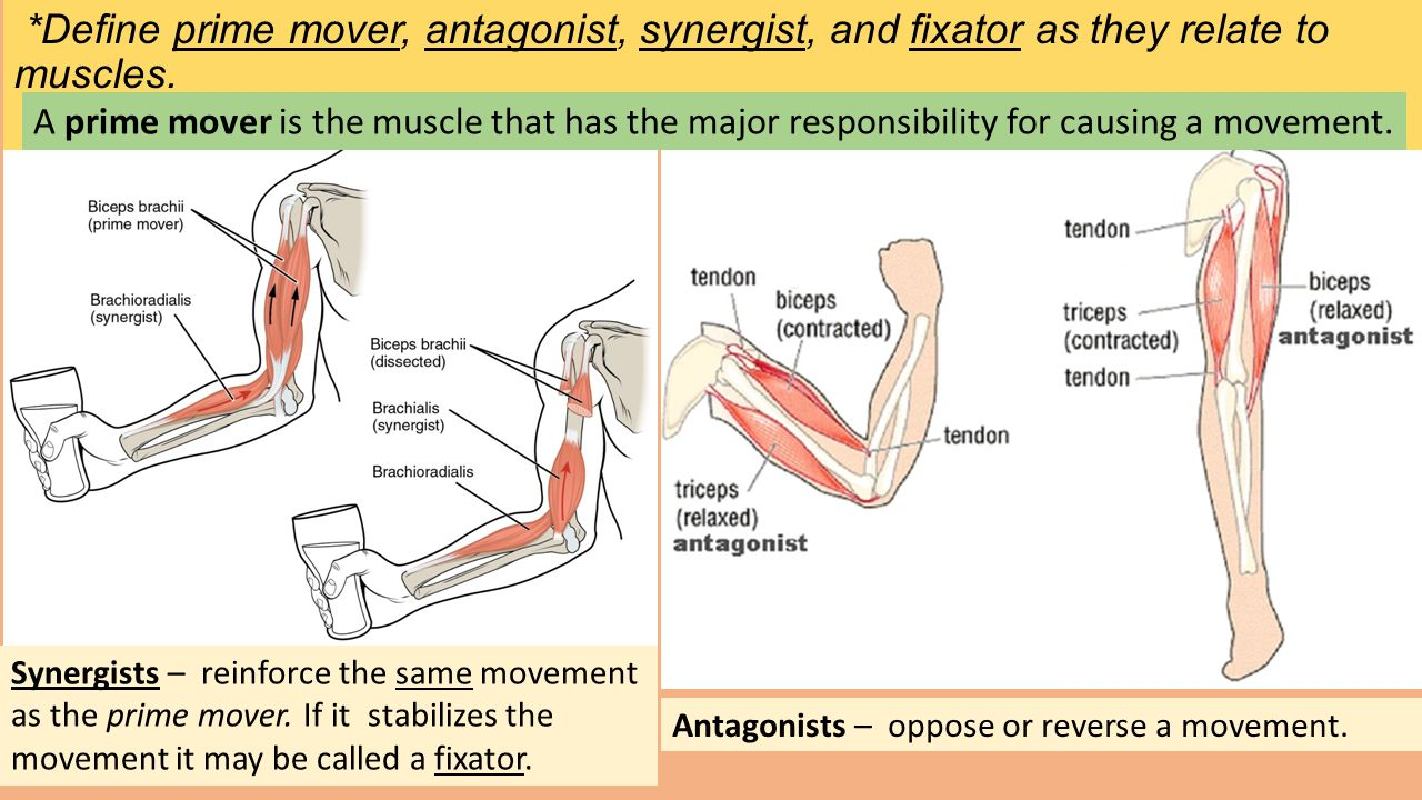 Antagonist definition anatomy
