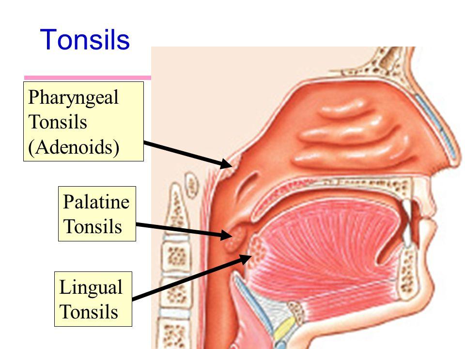 Pharyngeal Tonsil   tenderness.co
