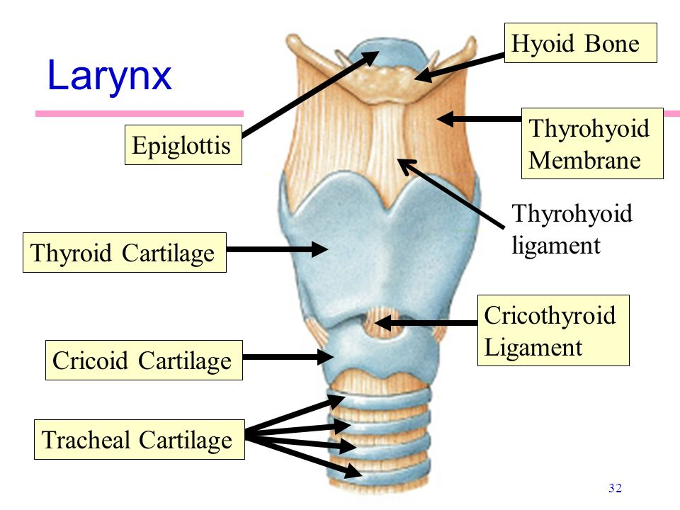 Cricoid cartilage anatomy