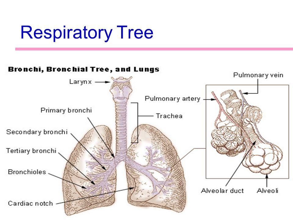 Bronchial Tree Diagram Cardiac Just Wire