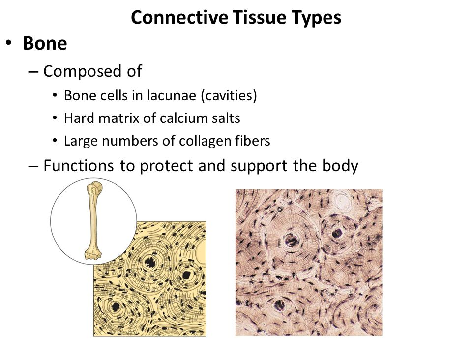 what tissue has lacunae calcium salts and blood vessels Contains no blood vessels or nerves a lacunae-bound chondrocytes inside the cartilage divide and acids that convert calcium salts into soluble forms.