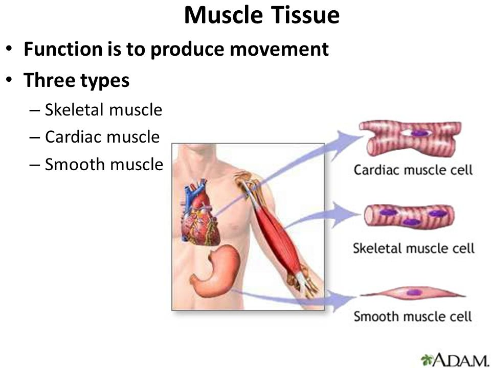 what is the function of muscle tissue