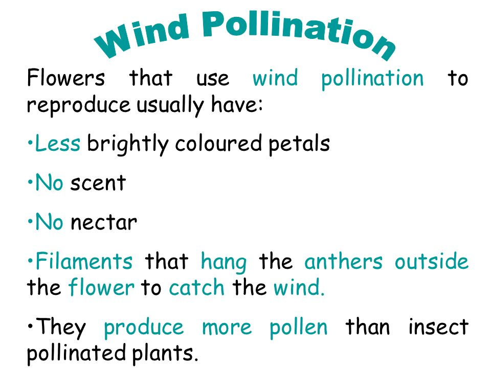 Wind Pollination Flowers that use wind pollination to reproduce usually have: Less brightly coloured petals.