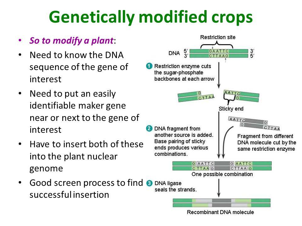 genetically modified crop plants