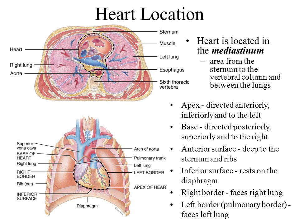 Where Is The Heart Located – defenderauto.info