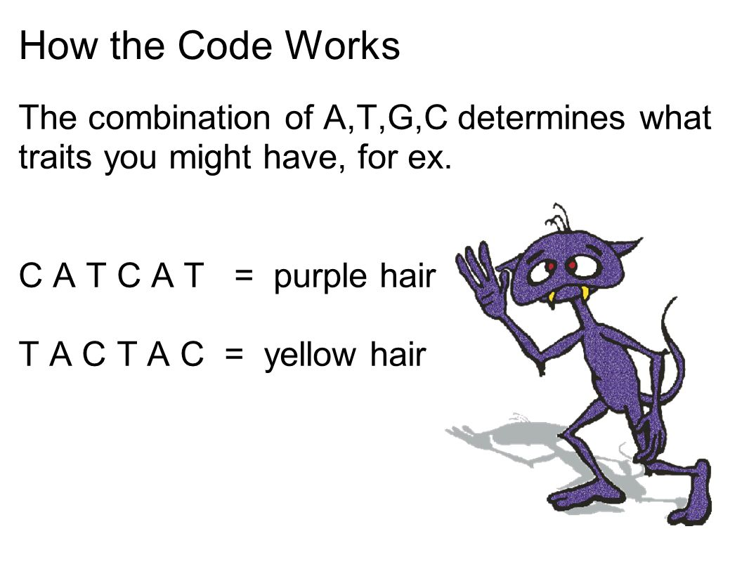 How the Code Works The combination of A,T,G,C determines what traits you might have, for ex. C A T C A T = purple hair.