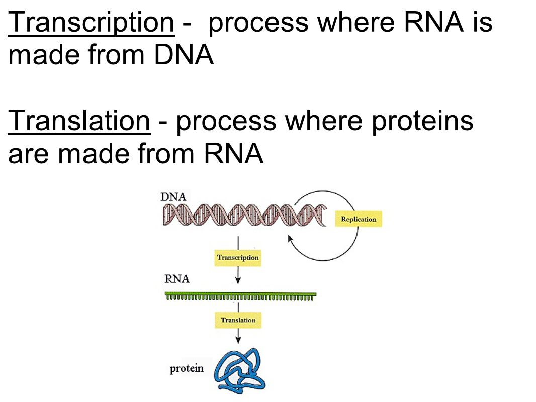 Transcription - process where RNA is made from DNA Translation - process where proteins are made from RNA