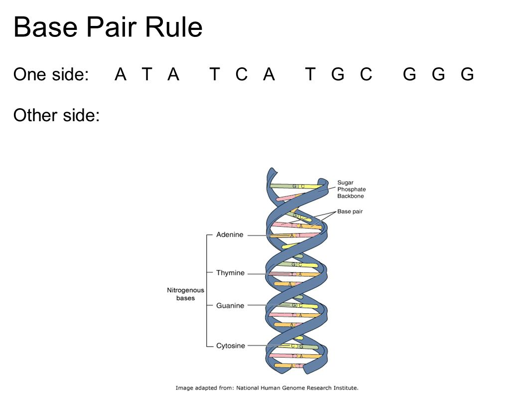 Base Pair Rule One side: A T A T C A T G C G G G Other side: