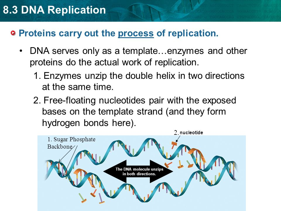25 explain how dna serves as its own template during for Explain how dna serves as its own template during replication