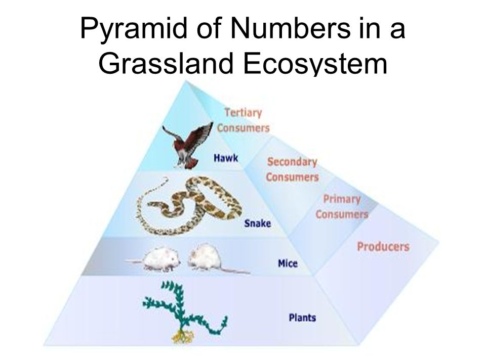 Pyramid of Numbers in a Grassland Ecosystem