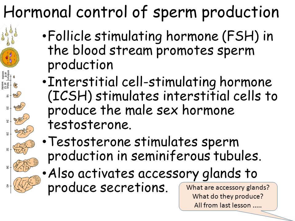 Glands that control sperm production