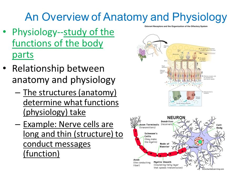 relationship between structure and function of epithelial tissue