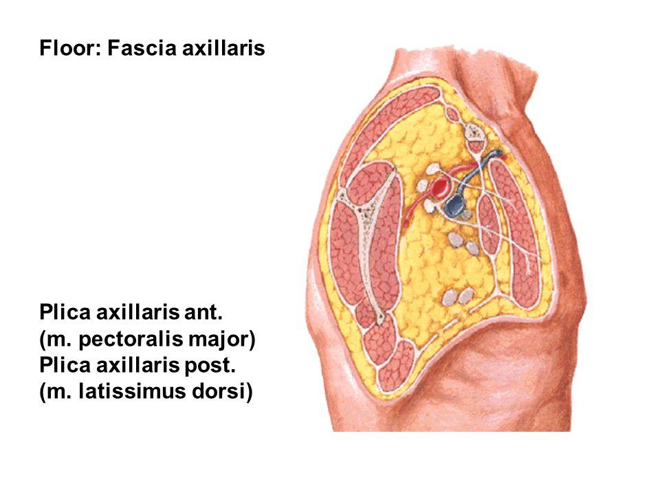 Floor: Fascia axillaris