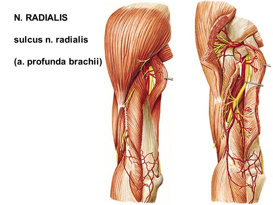 N. RADIALIS sulcus n. radialis (a. profunda brachii)