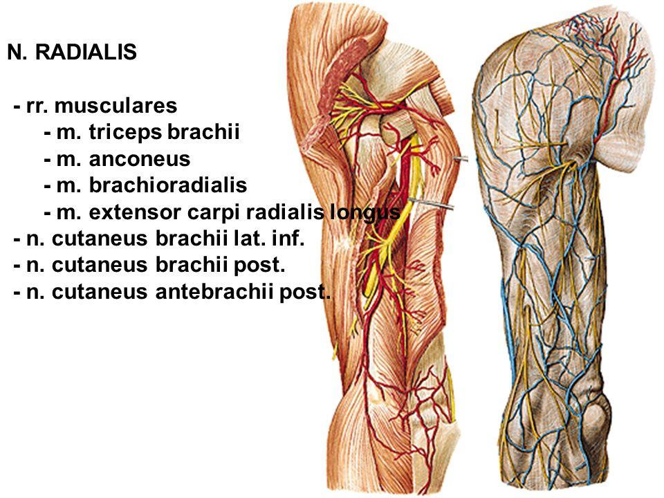 N. RADIALIS - rr. musculares. - m. triceps brachii. - m. anconeus. - m. brachioradialis. - m. extensor carpi radialis longus.