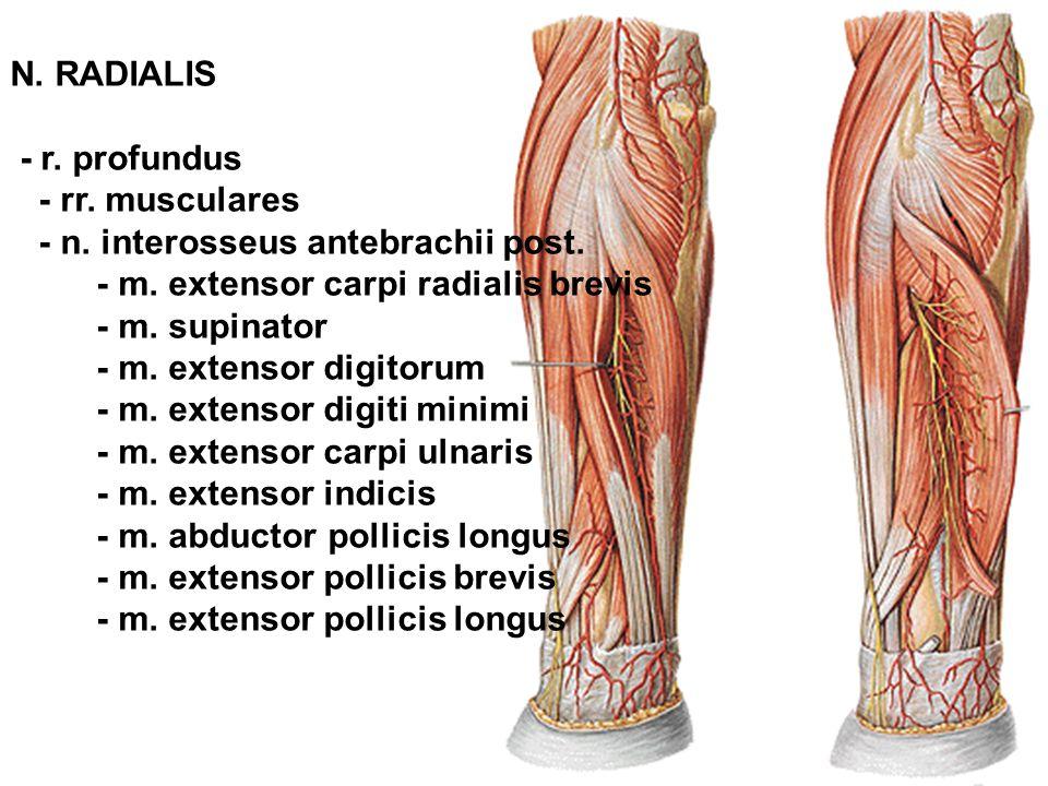 N. RADIALIS - r. profundus. - rr. musculares. - n. interosseus antebrachii post. - m. extensor carpi radialis brevis.