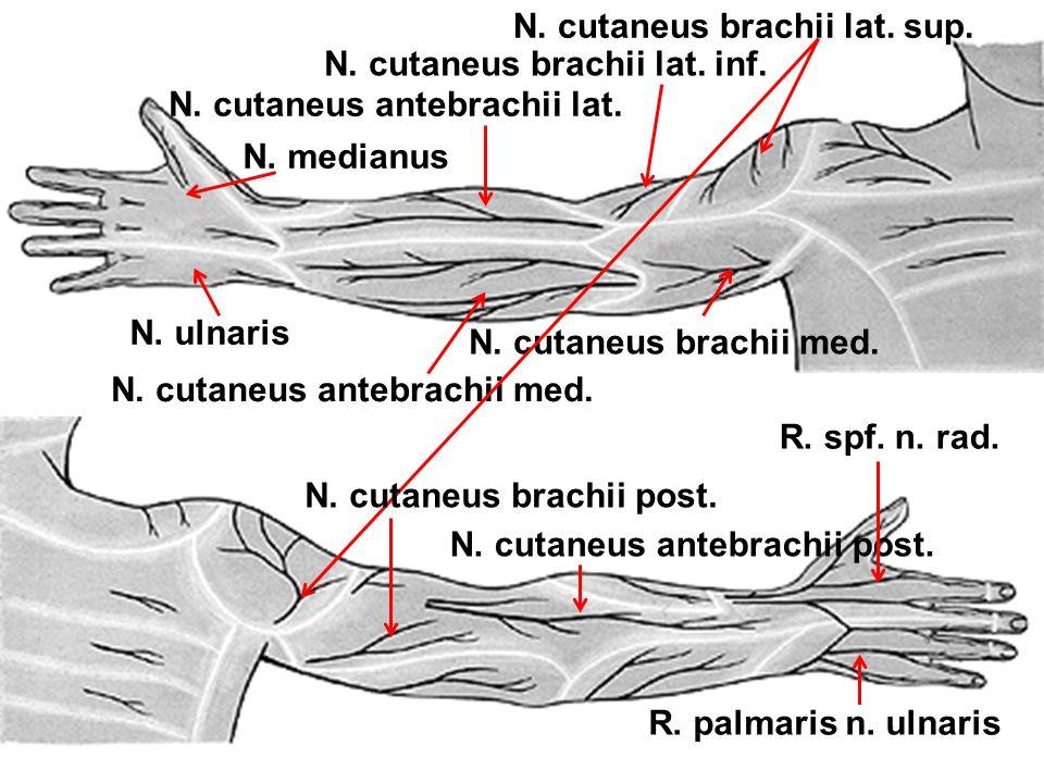 N. cutaneus brachii lat. sup.