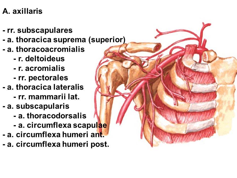 A. axillaris - rr. subscapulares. - a. thoracica suprema (superior) - a. thoracoacromialis. - r. deltoideus.