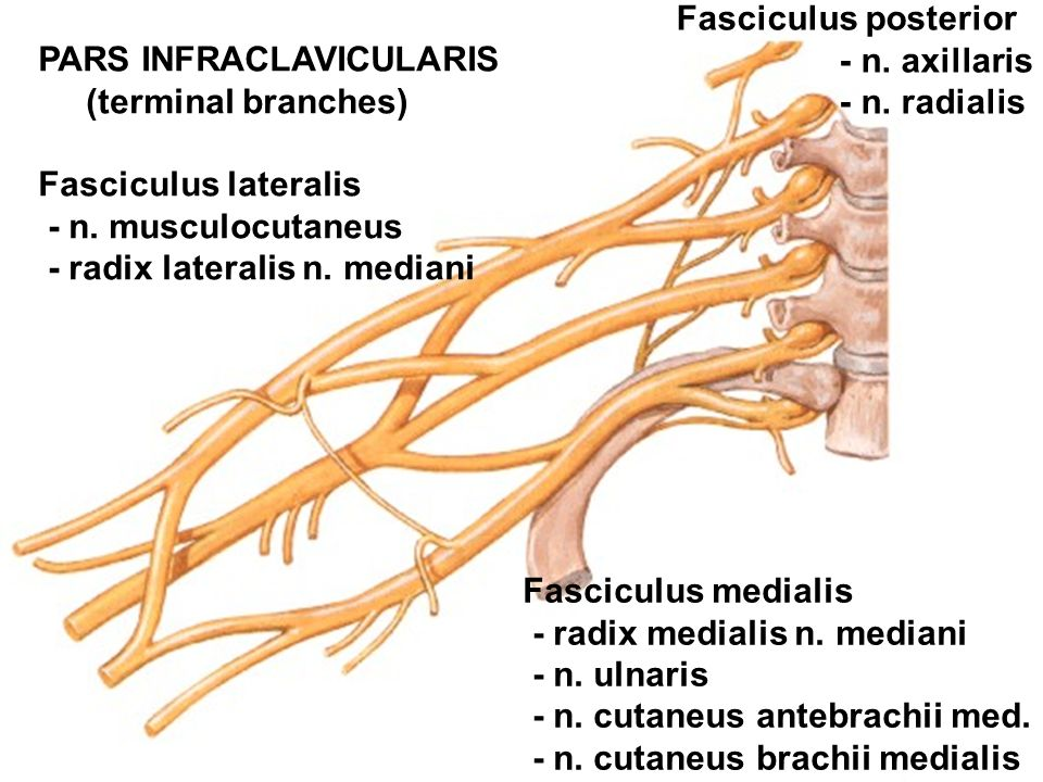 Fasciculus posterior - n. axillaris. - n. radialis. PARS INFRACLAVICULARIS. (terminal branches) Fasciculus lateralis.