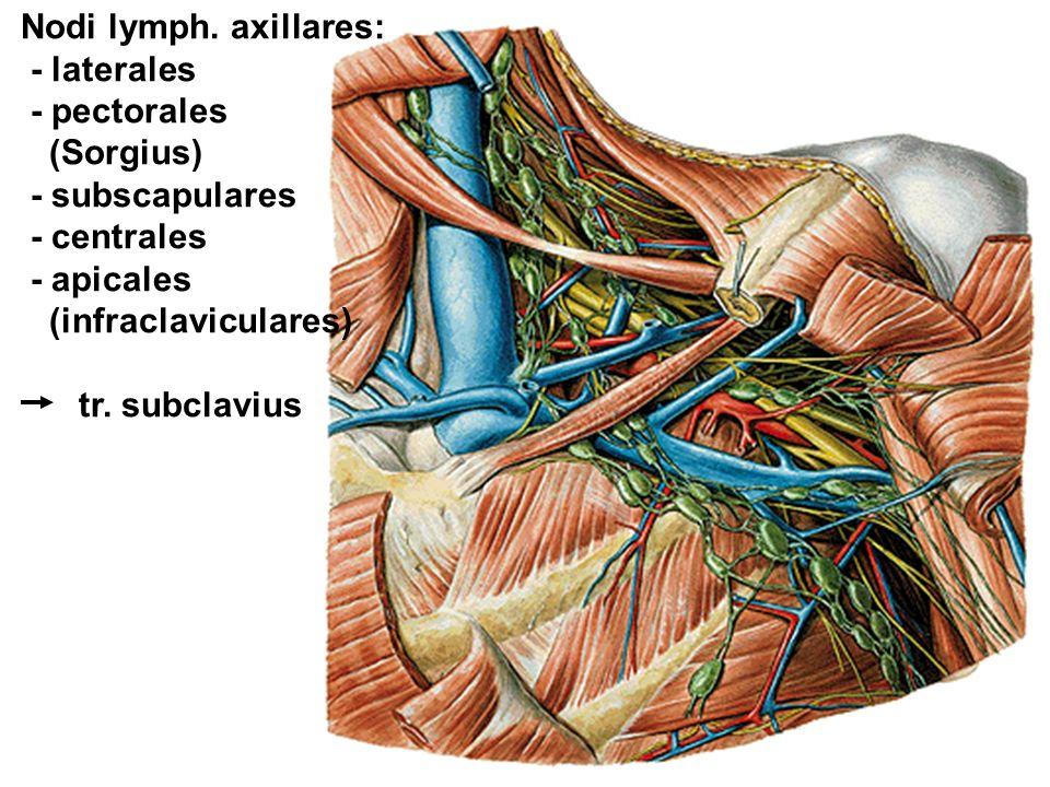Nodi lymph. axillares: - laterales - pectorales (Sorgius)