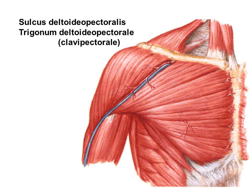 Sulcus deltoideopectoralis