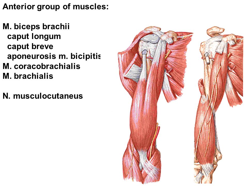 Anterior group of muscles: