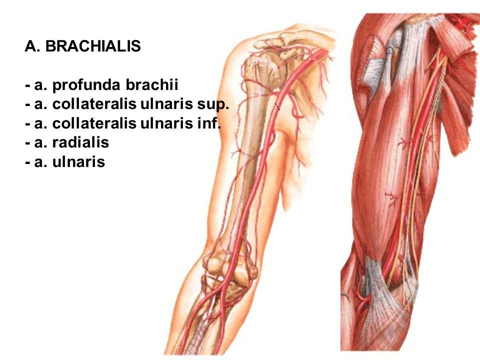 A. BRACHIALIS - a. profunda brachii. - a. collateralis ulnaris sup. - a. collateralis ulnaris inf.