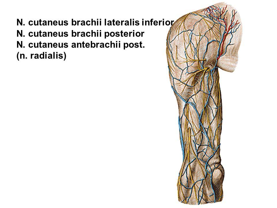 N. cutaneus brachii lateralis inferior