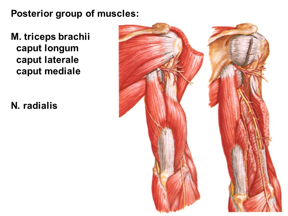 Posterior group of muscles: