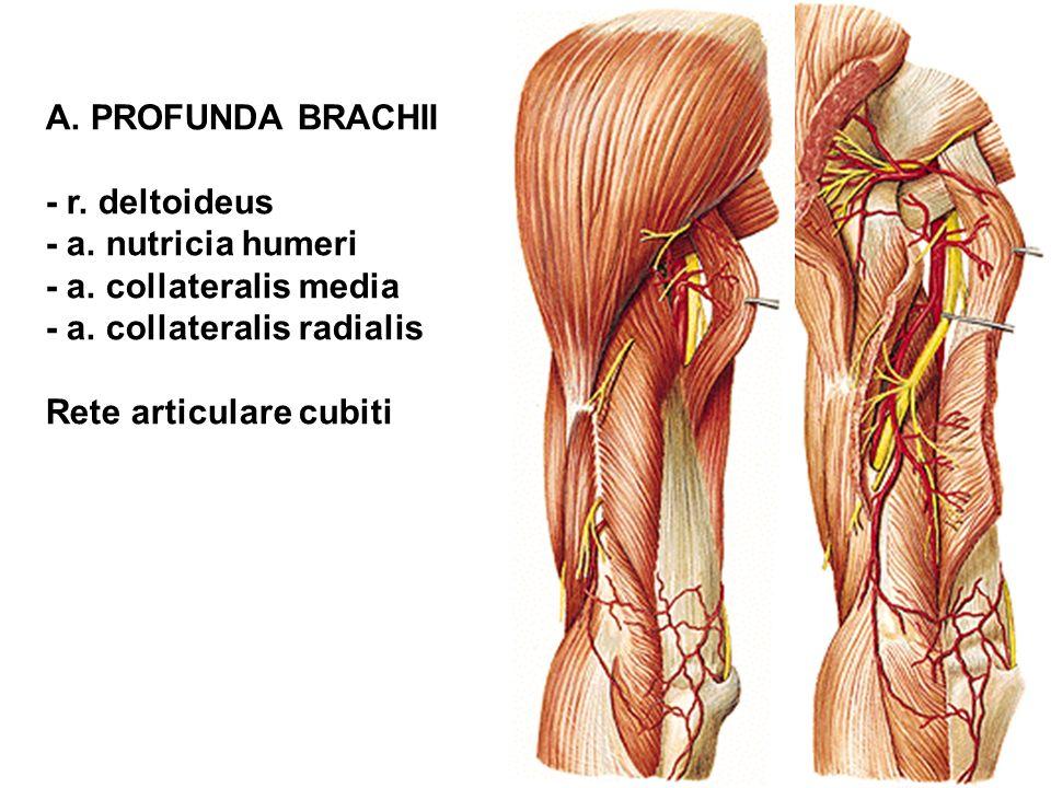A. PROFUNDA BRACHII - r. deltoideus. - a. nutricia humeri. - a. collateralis media. - a. collateralis radialis.