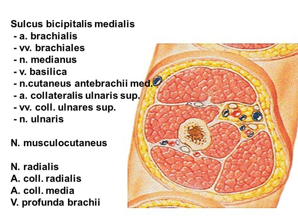 Sulcus bicipitalis medialis