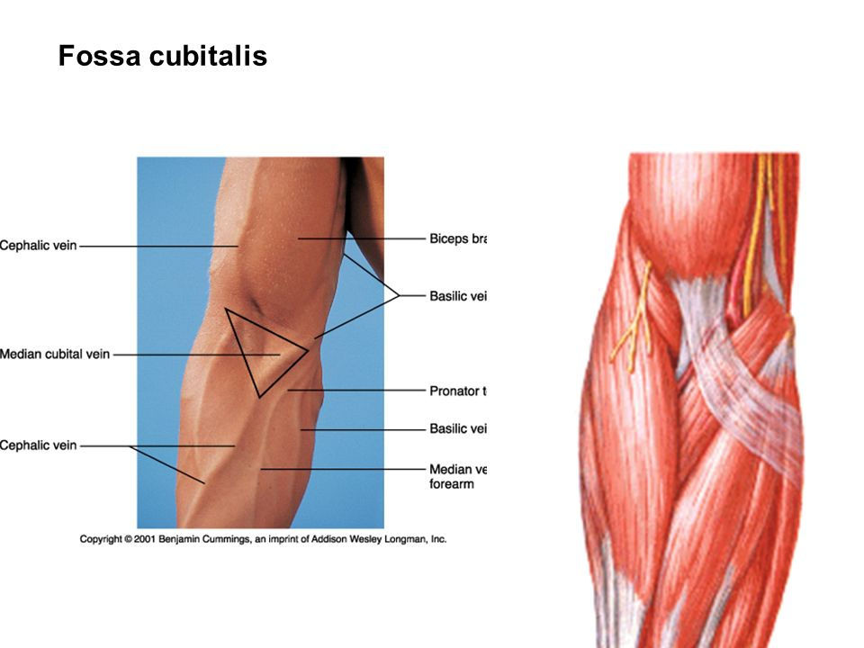 Fossa cubitalis