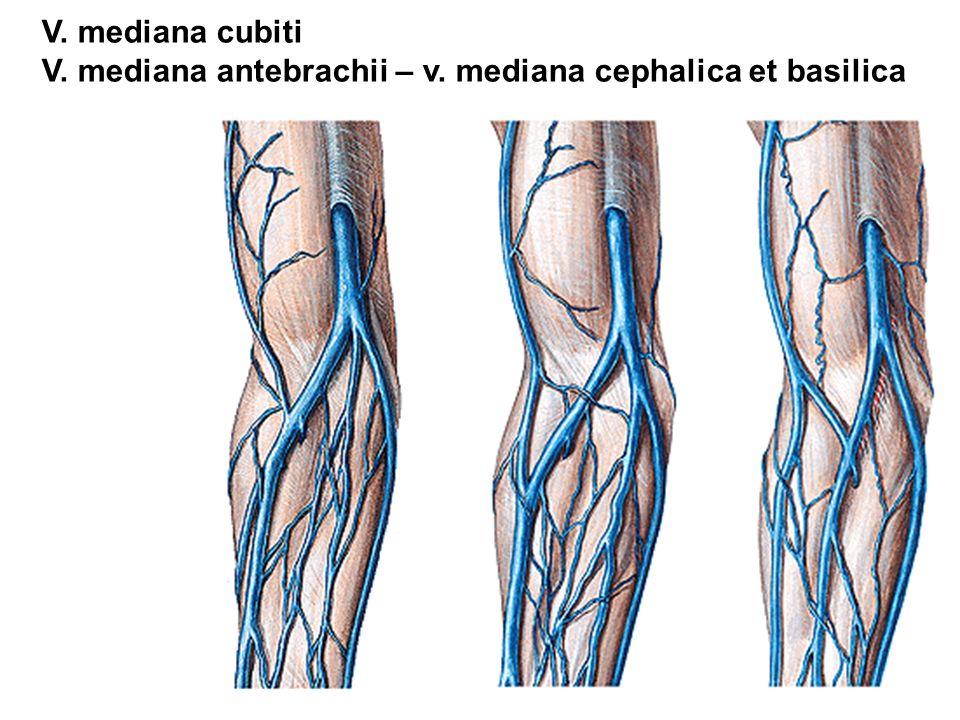 V. mediana cubiti V. mediana antebrachii – v. mediana cephalica et basilica