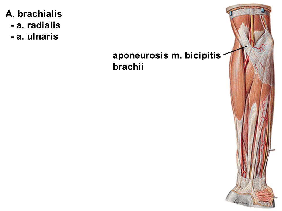 A. brachialis - a. radialis - a. ulnaris aponeurosis m. bicipitis brachii