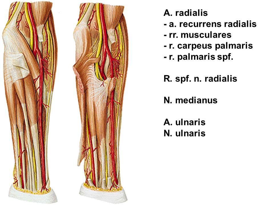 A. radialis - a. recurrens radialis. - rr. musculares. - r. carpeus palmaris. - r. palmaris spf.