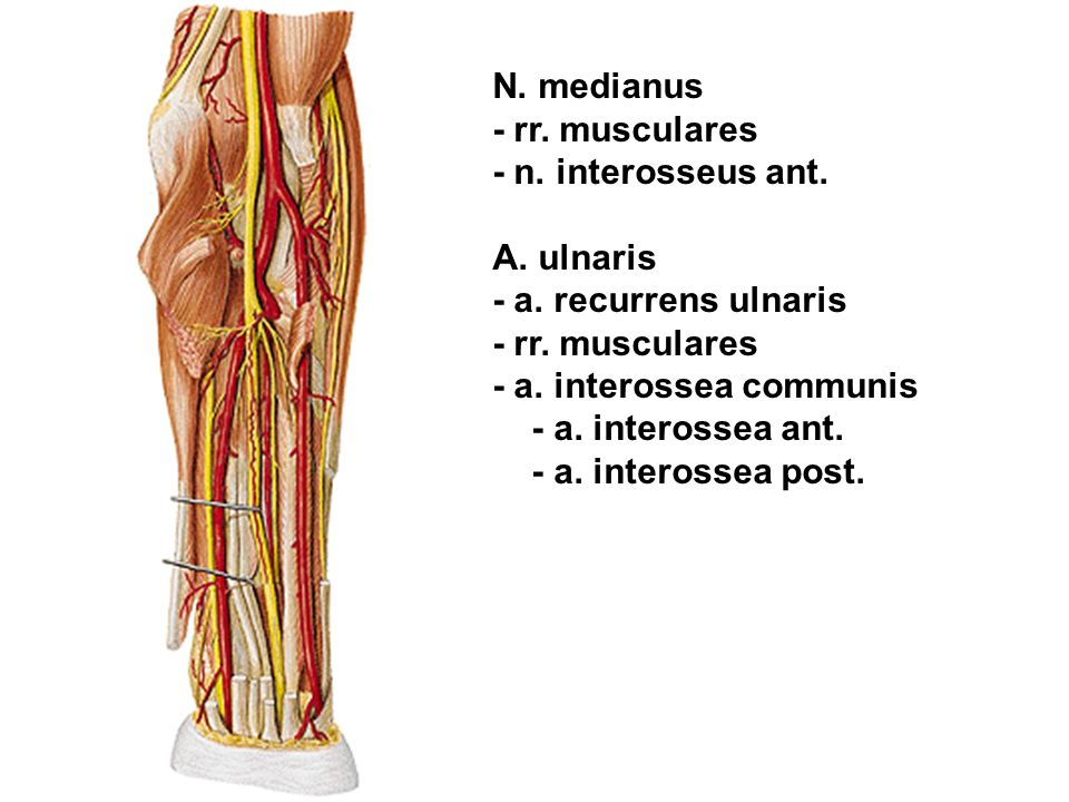 N. medianus - rr. musculares. - n. interosseus ant. A. ulnaris. - a. recurrens ulnaris. - a. interossea communis.