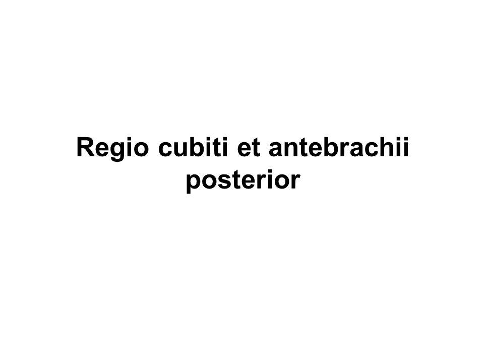 Regio cubiti et antebrachii posterior